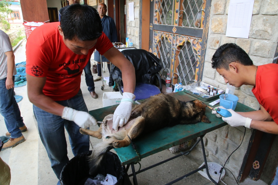 In pre-op at a clinic in the Bhutanese city of Paro, one vet tech shaves and sterilizes a male dog before surgery, while another cuts and cauterizes a notch in the left ear to identify the dog as having been neutered.