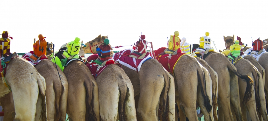 Camels ridden by mechanical robots race to the finish during a six kilometer race at the 12th International Camel Race in Kebd February 14, 2012. According to organizers, camel jockeys were replaced by mechanical robots since 2005 due to international pre