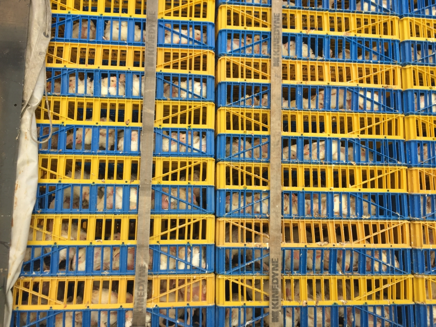 The chickens for the Kaparot ritual are stacked in crates. Animal rights activists have filed lawsuits, calling for a halt to the practice.