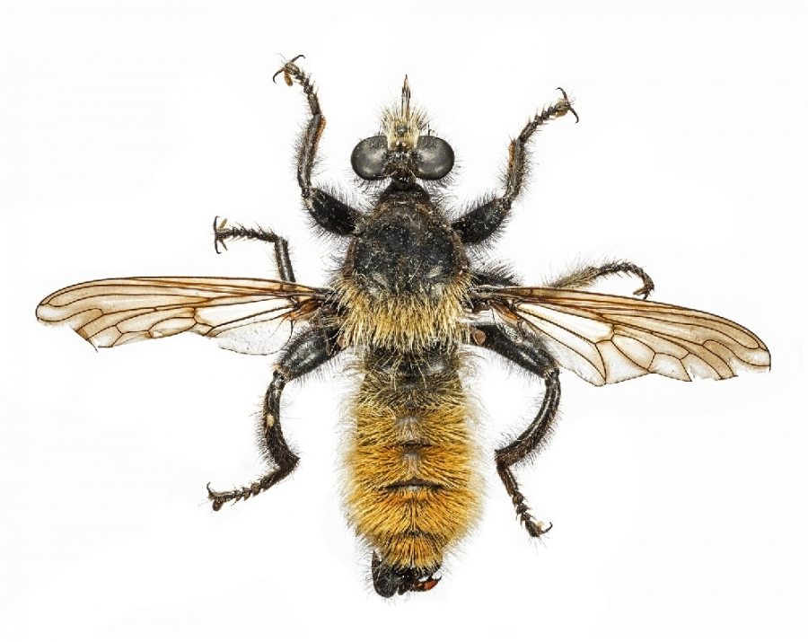 This bumblebee robber fly has a hardened proboscis (mouth) for penetrating prey, often going through an eye.