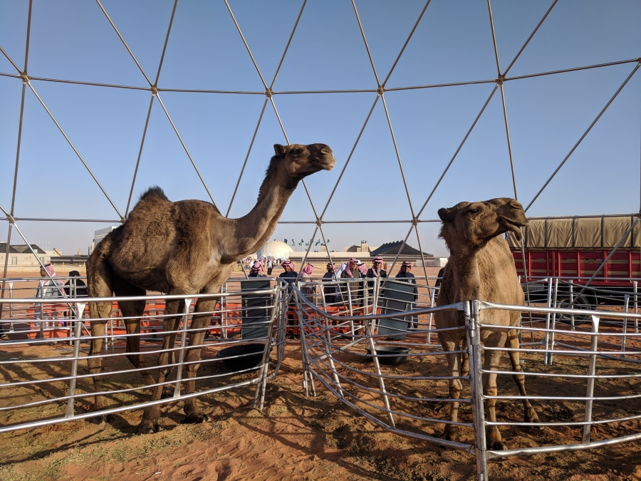 """On the left: the """"world's tallest camel,"""" according to organizers at the King Abdulaziz Camel Festival."""