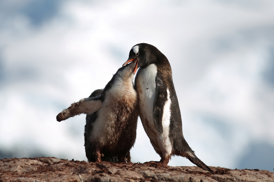 A penguin feeds a young one on Curverville Island, Antarctica