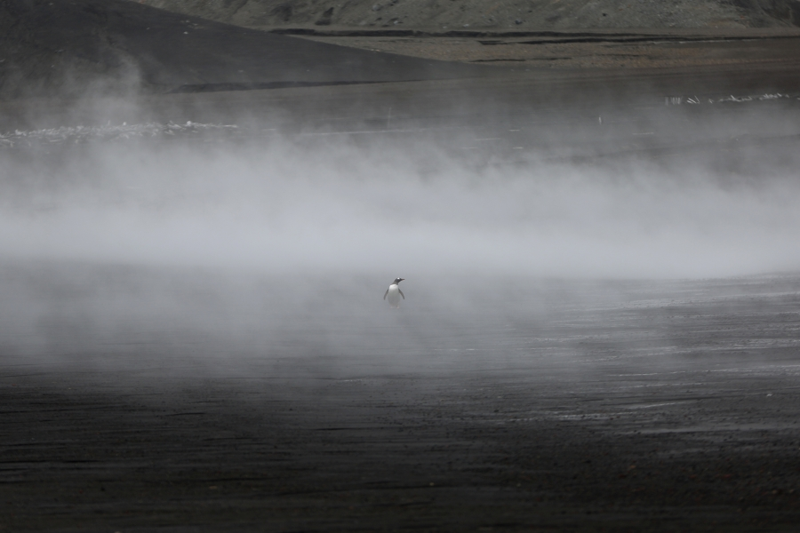 A penguin walks through the geothermal fog on Deception Island, which is the caldera of an active volcano in Antarctica.