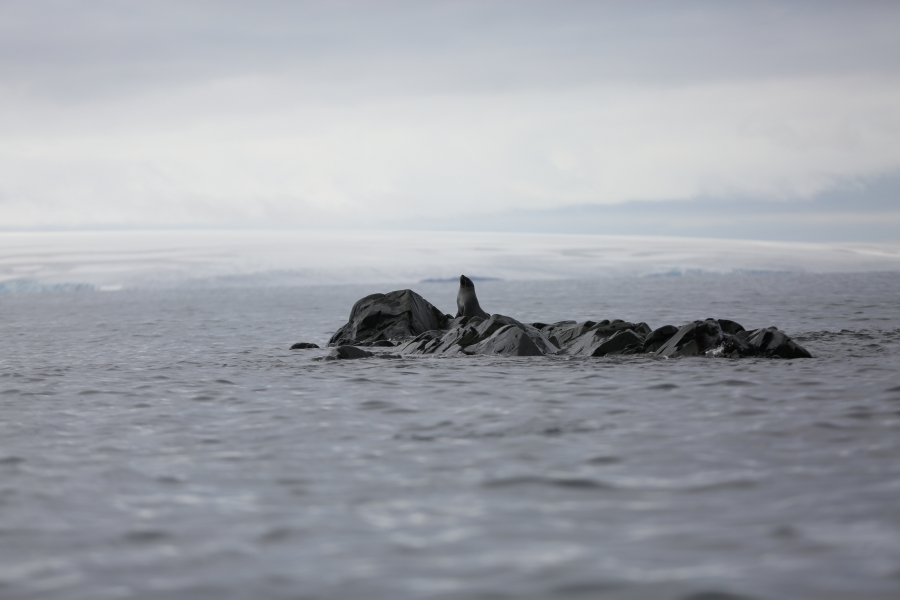 A seal rests over a rock on Maxwell Bay.