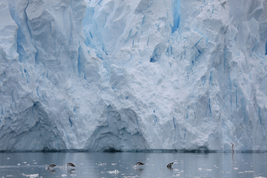 Penguins swim next to a glacier in Neko Harbor