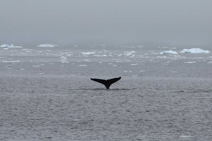 A whale swims in Selvick Cove.