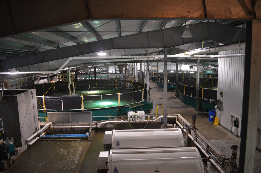 Each tank in the Kuterra facility holds hundreds of salmon. The company harvests roughly 12,000 pounds of fish a week.