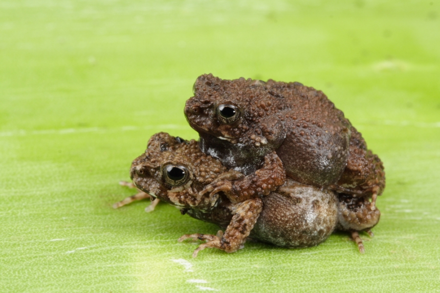 Two tungara frogs