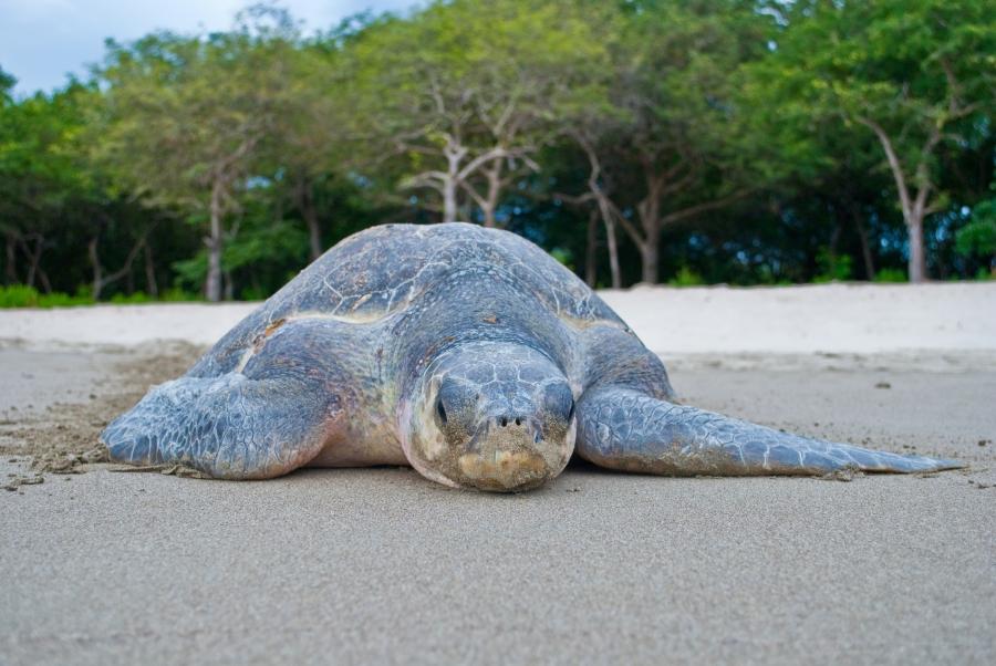 A sea turtle nesting in La Flor, Nicaragua.