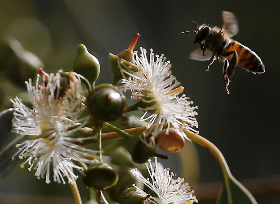 A bee hovers over a flower in Beirut, Lebanon.