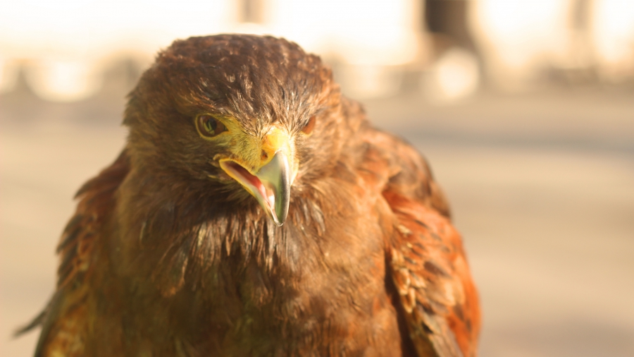 Hawks have been used to deter pigeons in London since the early 2000s