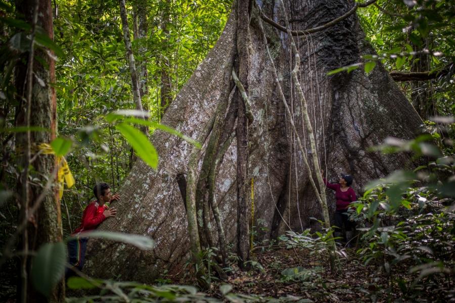 Huge tree in Colombia's rainforest.