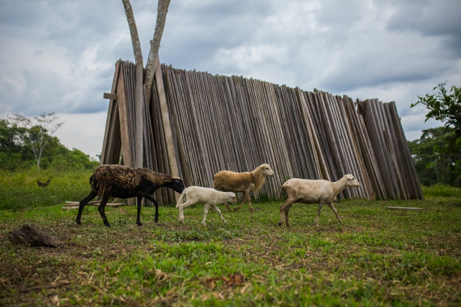 Cattle ranching is a leading cause of deforestation in Colombia.