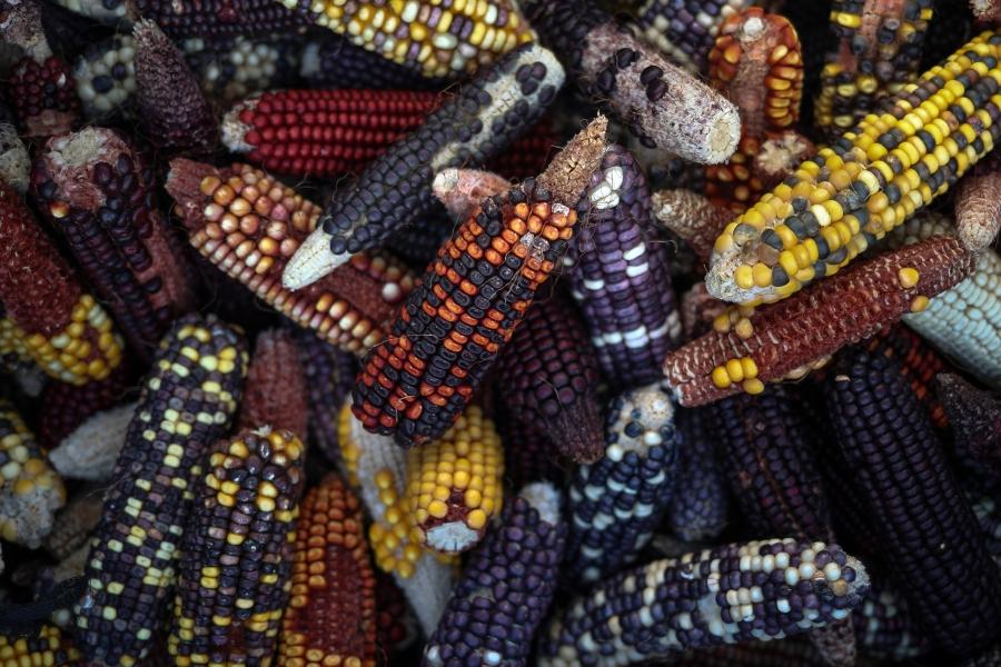New varieties of corn