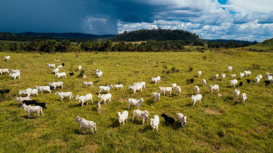 A herd of cows moves through deforested land.