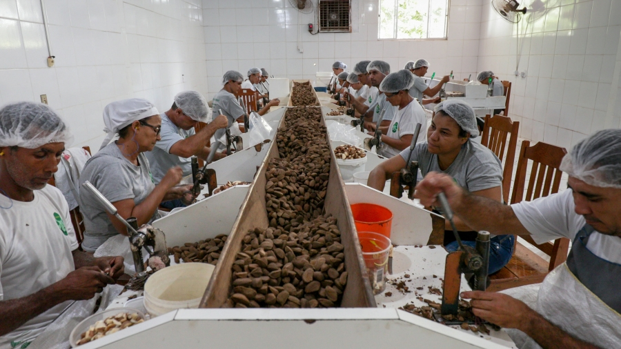 Workers sit a tables with machines in front of them to crack open Brazil nuts.