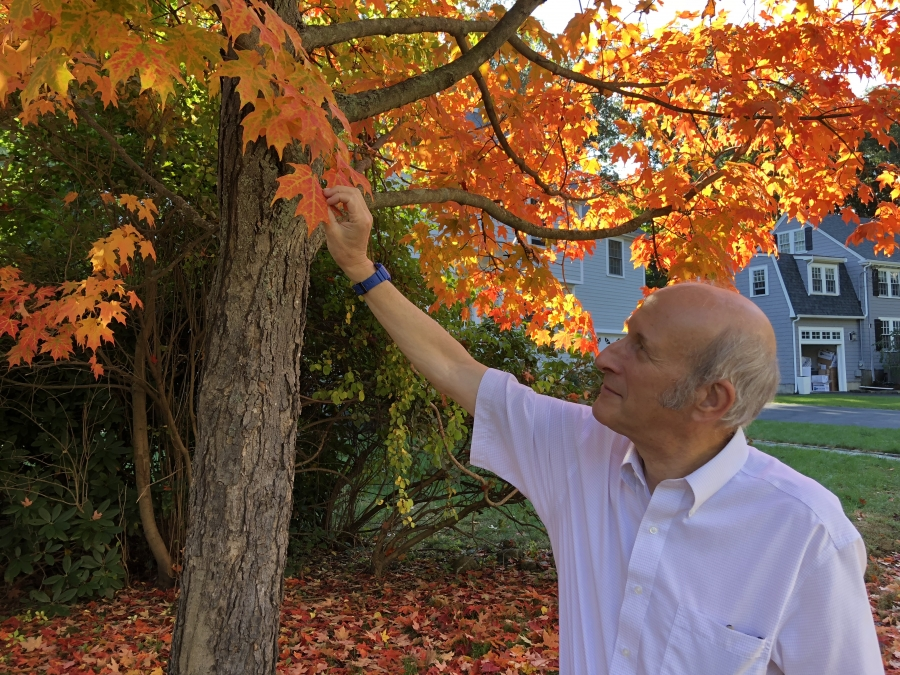 Biologist Richard Primack with Boston University examines the leaves of a Norway maple in the Boston suburb, Newton, Massachusetts.