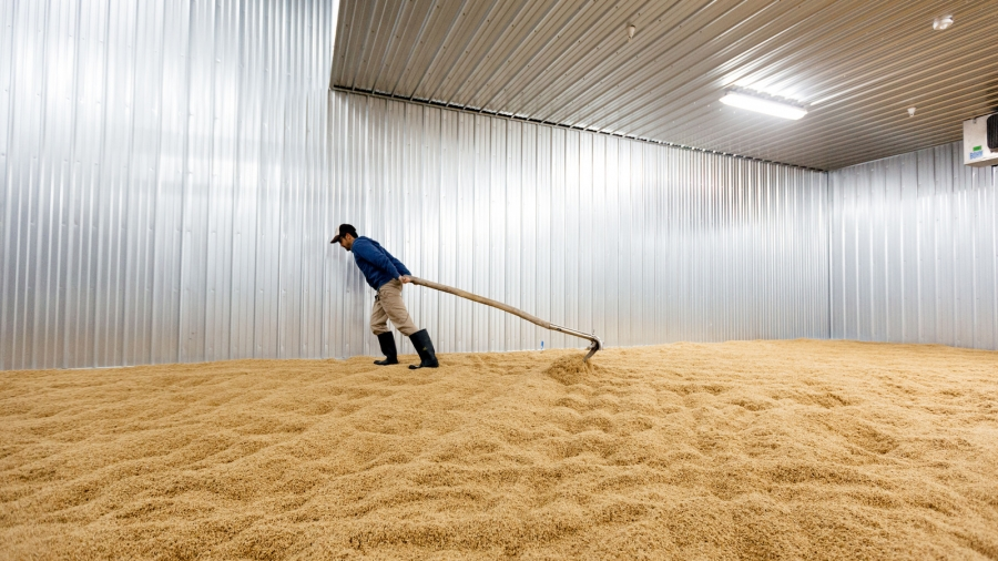 A man turns a bed of wheat on the floor.