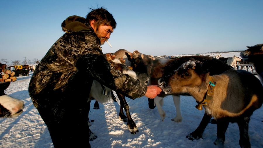 A man wearing a dark fur feeds a herd of reindeer in the snow.