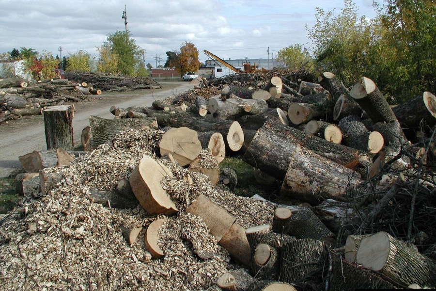 Ash logs are piled in a chipping yard in southeast Michigan, where the pest first appeared in 2002.