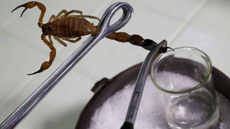 A close up of a scorpion pinched with tool held above a glass jar.