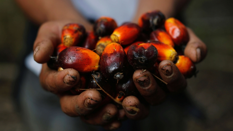 Hands hold red palm oil fruits.