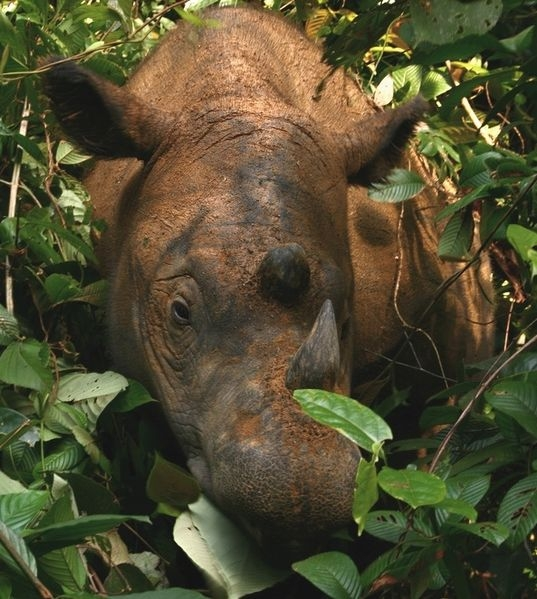 Sumatran rhino Indonesia