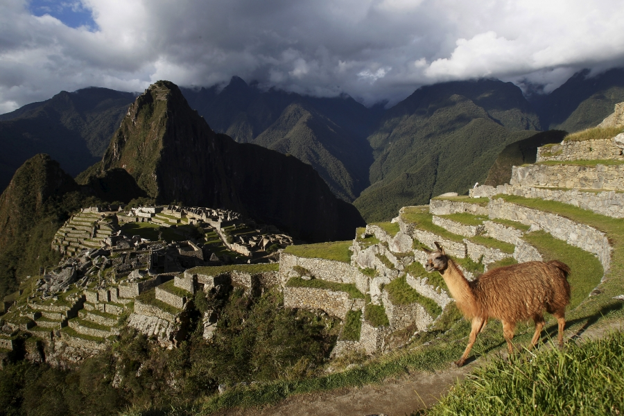 Uma lhama nos degraus incas das montanhas andinas