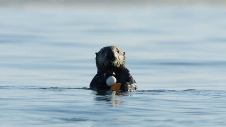 a sea otter holding a golfball