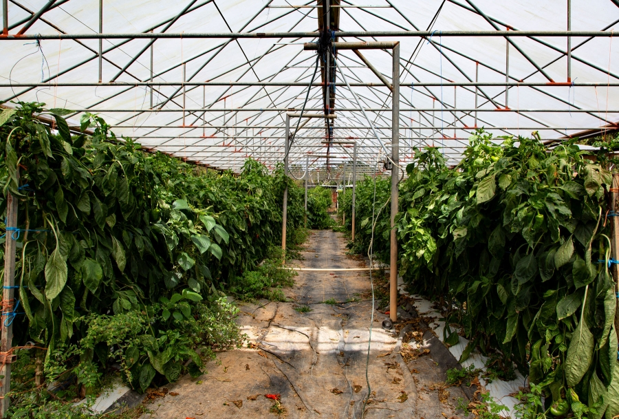 A clear plastic structure is show covering large green plants.