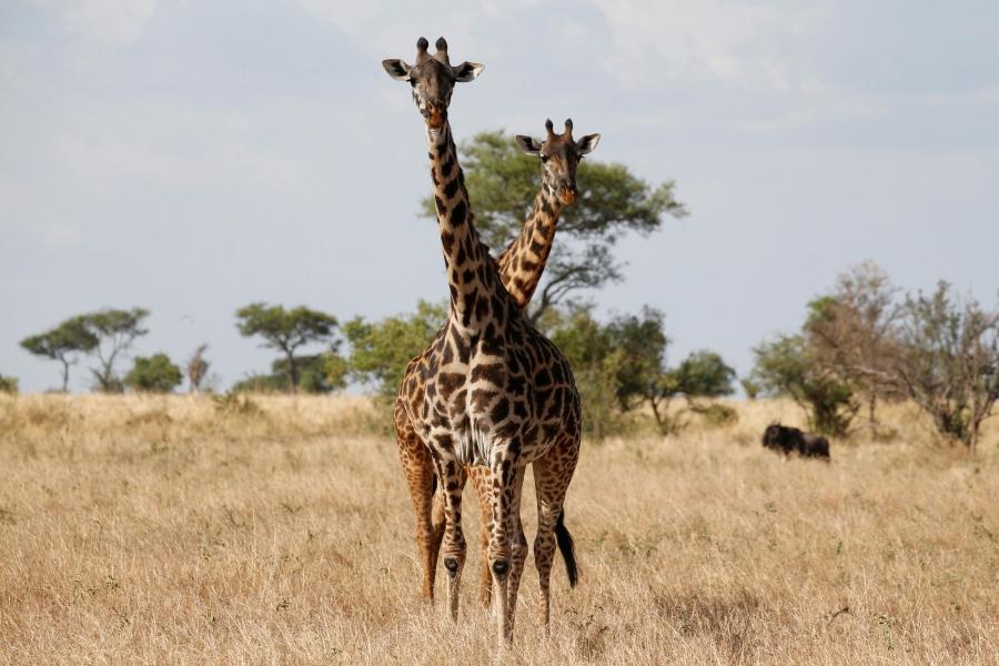 Giraffes are seen at the Singita Grumeti Game Reserve in Tanzania.