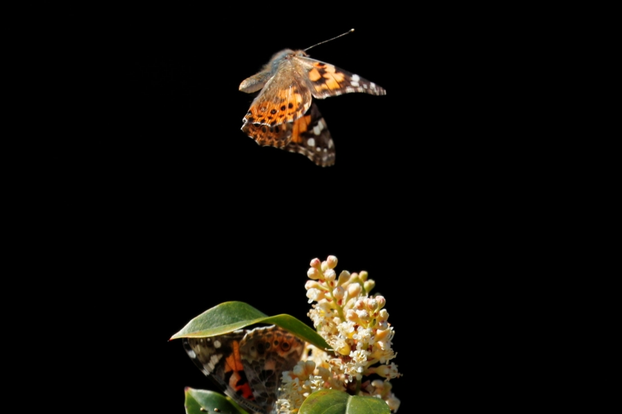 A swarm of painted lady butterflies land on a Carolina cherry tree as they migrate north from Mexico through Encinitas, California.