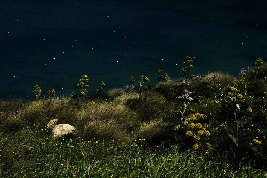 Giant fennel plants are seen on a hillside overlooking Gnejna Bay, outside the village of Mgarr, Malta.