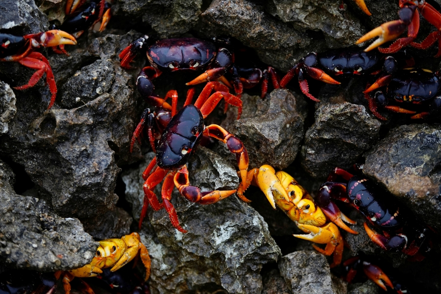 Crabs coming from the surrounding forests gather near the sea to spawn in Playa Giron, Cuba.