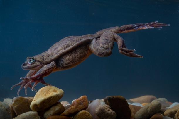 """""""Juliet"""" the Sehuencas frog"""