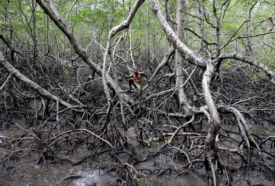A man is shown walking on the exposed root system of the mangrove forest.
