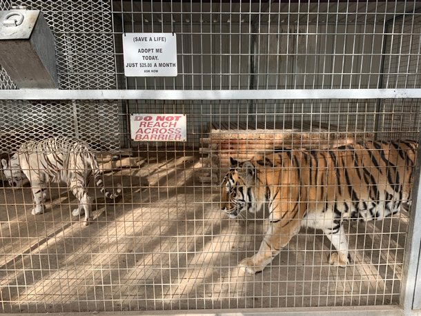 Tigers in small cage