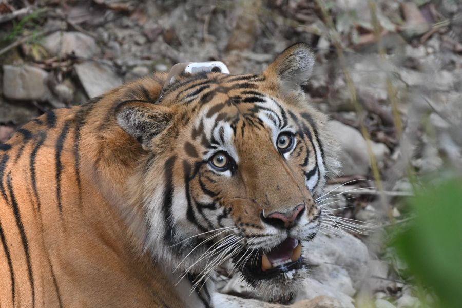 The GPS collar on this tiger in Nepal's Parsa National Park will help scientists understand how the tiger behaves near and away from roads.
