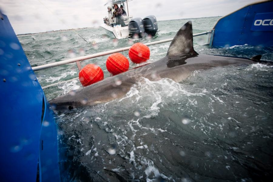 Great White Shark Lydia is tagged off the coast of Florida on March 2, 2013.