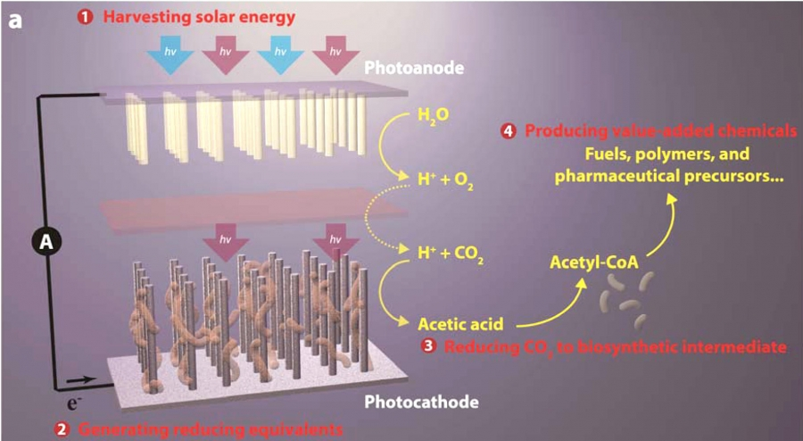 This schematic image of Chang's artificial photosynthesis systems shows its four general components: (1) harvesting solar energy, (2) generating reducing equivalents, (3) reducing CO2 to biosynthetic intermediates, and (4) producing value-added chemicals.