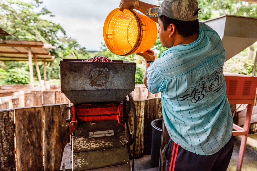 Workers on the Lava Java farm harvest the beans and then process them onsite before selling them to high-end local cafes serving the booming Galapagos tourist trade.