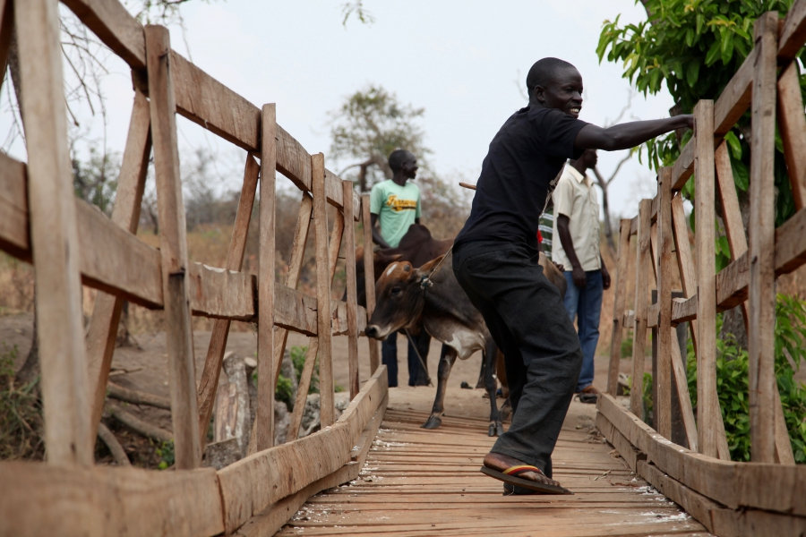Refugees urge cows across a wooden bridge as they cross from South Sudan into Uganda.