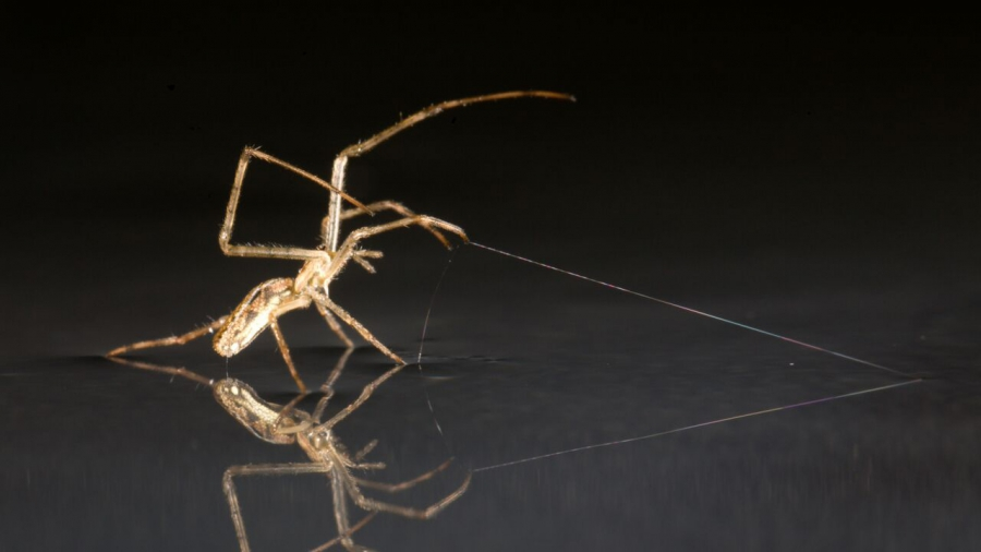 Spider using silk as an anchor or dragline