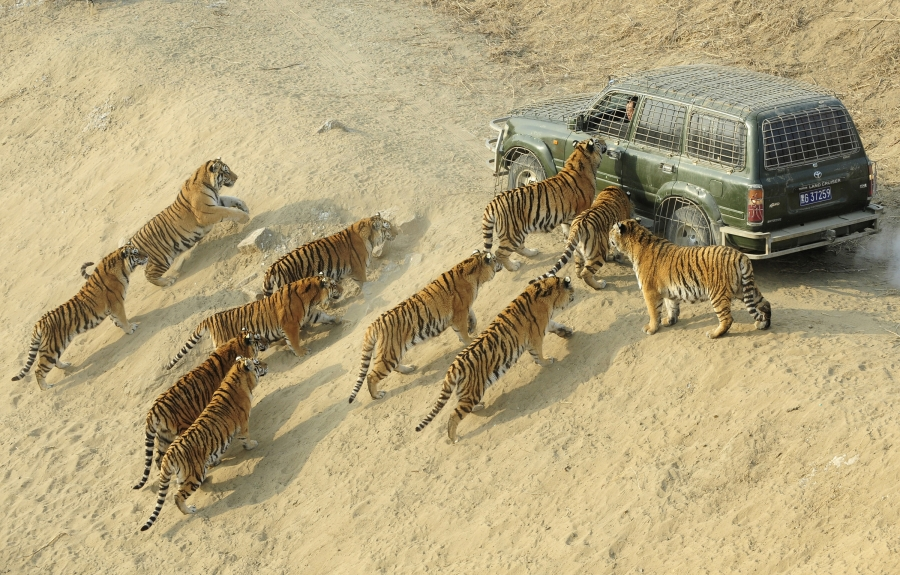 Tigers attacking people