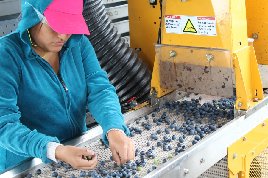 A woman looks down at a conveyor belt of blueberries