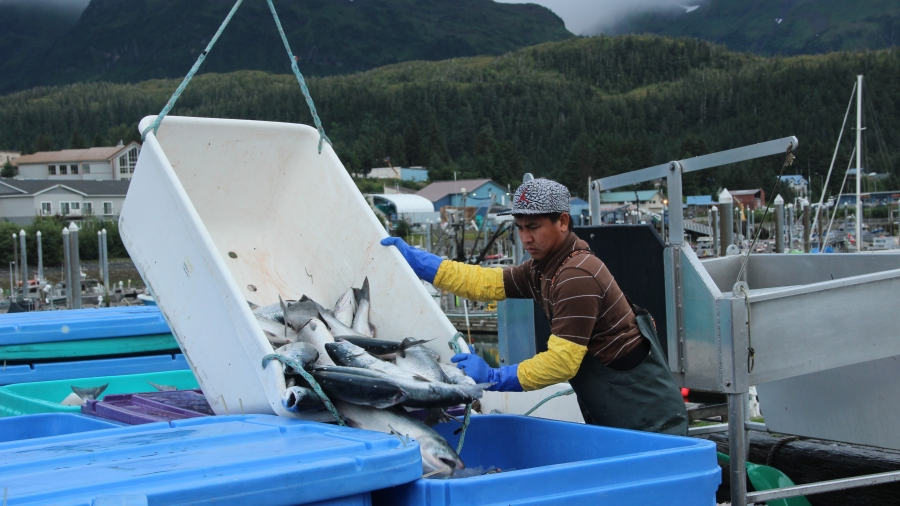 Fishermen sell their daily catch at the docks in Cordova, Alaska, where they are weighed, packed in ice, and sent to a processing facility.