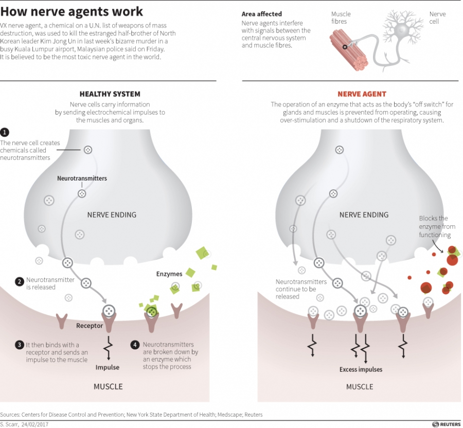 This diagram shows what nerve agents do inside one's nerve system. It was confirmed that Kim Jong Nam was killed by VX nerve agent.