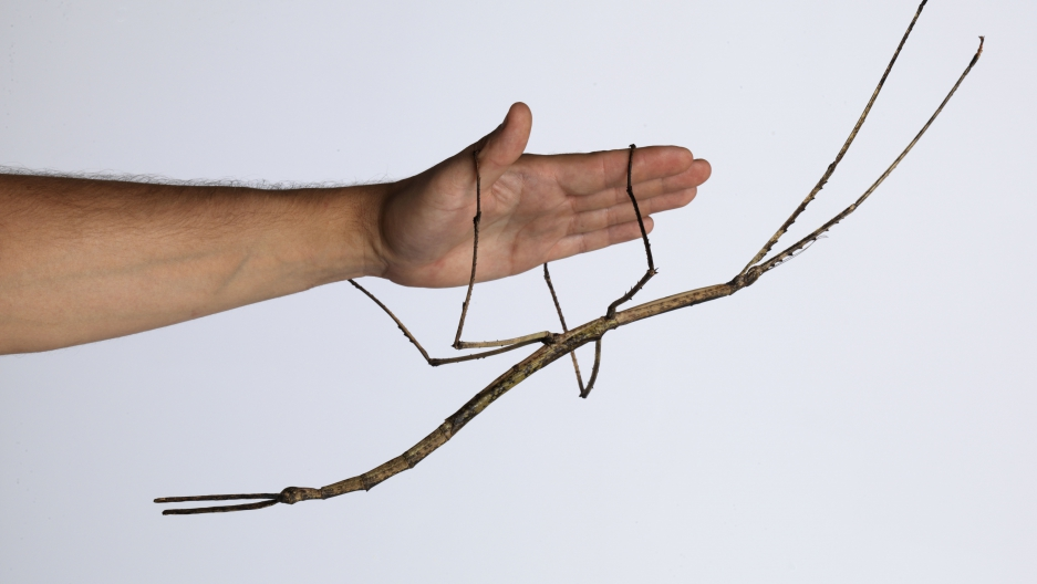 "An adult female ""Ctenomorpha gargantua"" from the first captive-reared generation, measuring 56.5 cm in total length."