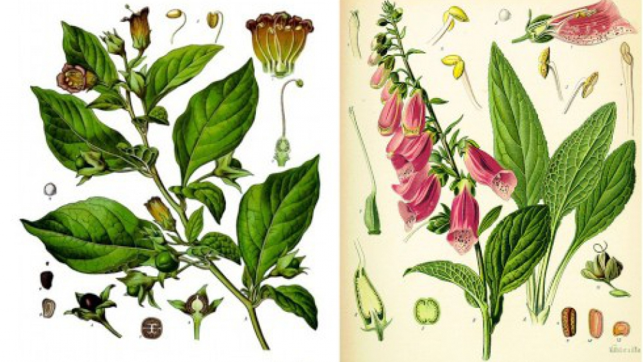 Drawings of Atropa belladonna and Digitalis purpurea. Via Köhler's Medicinal Plants/Wikimedia