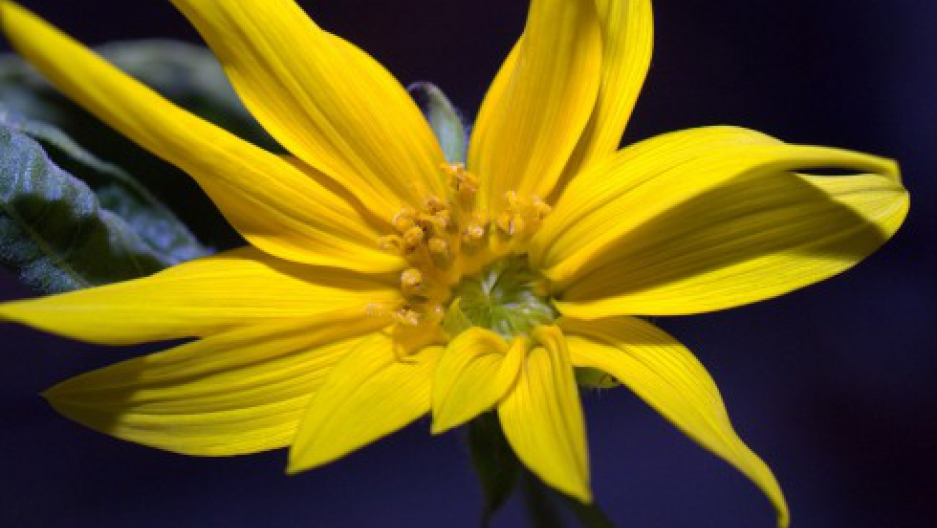Don Pettit's space sunflower in full bloom. Photo by Don Pettit/NASA